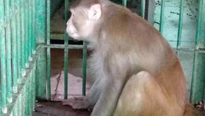 Con khỉ nghiện rượu làm 1 người chết và 250 người bị thương