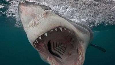Mỹ: Người phụ nữ thiệt mạng do bị cá mập tấn công khi đang bơi