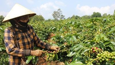 Quảng Trị: Bà con huyện miền núi Hướng Hóa vào vụ thu hoạch cà phê