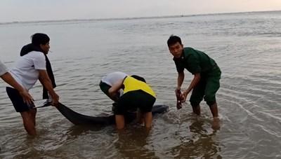 Quảng Nam: Đưa một chú cá heo lụy bờ ra lại ngoài biển
