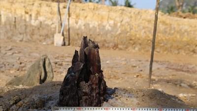 Phát lộ bãi cọc gần nghìn năm tuổi bên sông Bạch Đằng