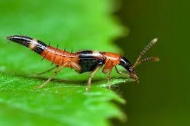 Cẩn trọng với kiến ba khoang