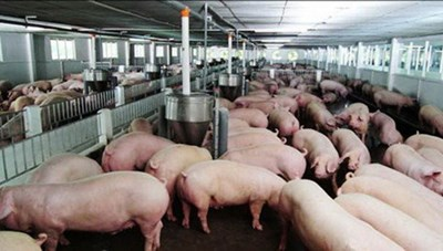 Giá thịt lợn tăng:  Chưa vội tăng đàn