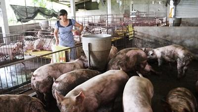 Giá thịt lợn tăng nhanh