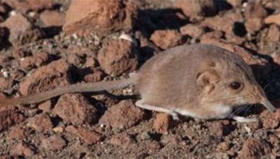 Phát hiện loài chuột chù mũi vòi