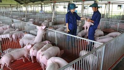 Bình Định: Hỗ trợ người chăn nuôi vay vốn không lãi suất để tái đàn lợn
