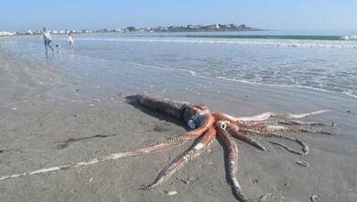 Phát hiện 'quái vật' mực khổng lồ cực hiếmnặng tới 200kg