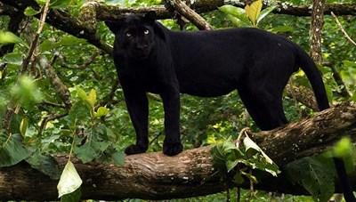 Xác minh thông tin 2 con báo đen xuất hiện gần khu dân cư ở Đồng Nai