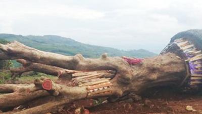 Phú Yên: Tịch thu 2 cây cổ thụ chưa rõ nguồn gốc