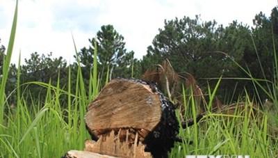 Lâm Đồng: Xác minh vụ 'bức tử' 50 cây thông hàng chục năm tuổi
