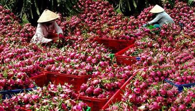 Trái cây Việt vào thị trường Trung Quốc