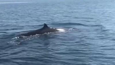 Cá voi 'khủng' xuất hiện ở vùng biển Cù Lao Chàm
