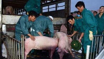 Thái Lan có kế hoạch giảm xuất khẩu heo sang Việt Nam