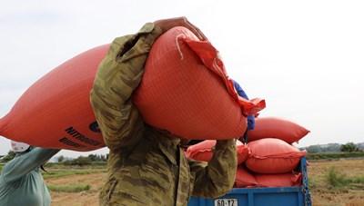 Quảng Nam: Nông dân gặt chạy bão số 5