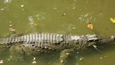 Cảnh báo người dân về cá sấu trên sông Sài Gòn