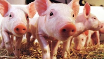 Rào cản tái đàn lợn