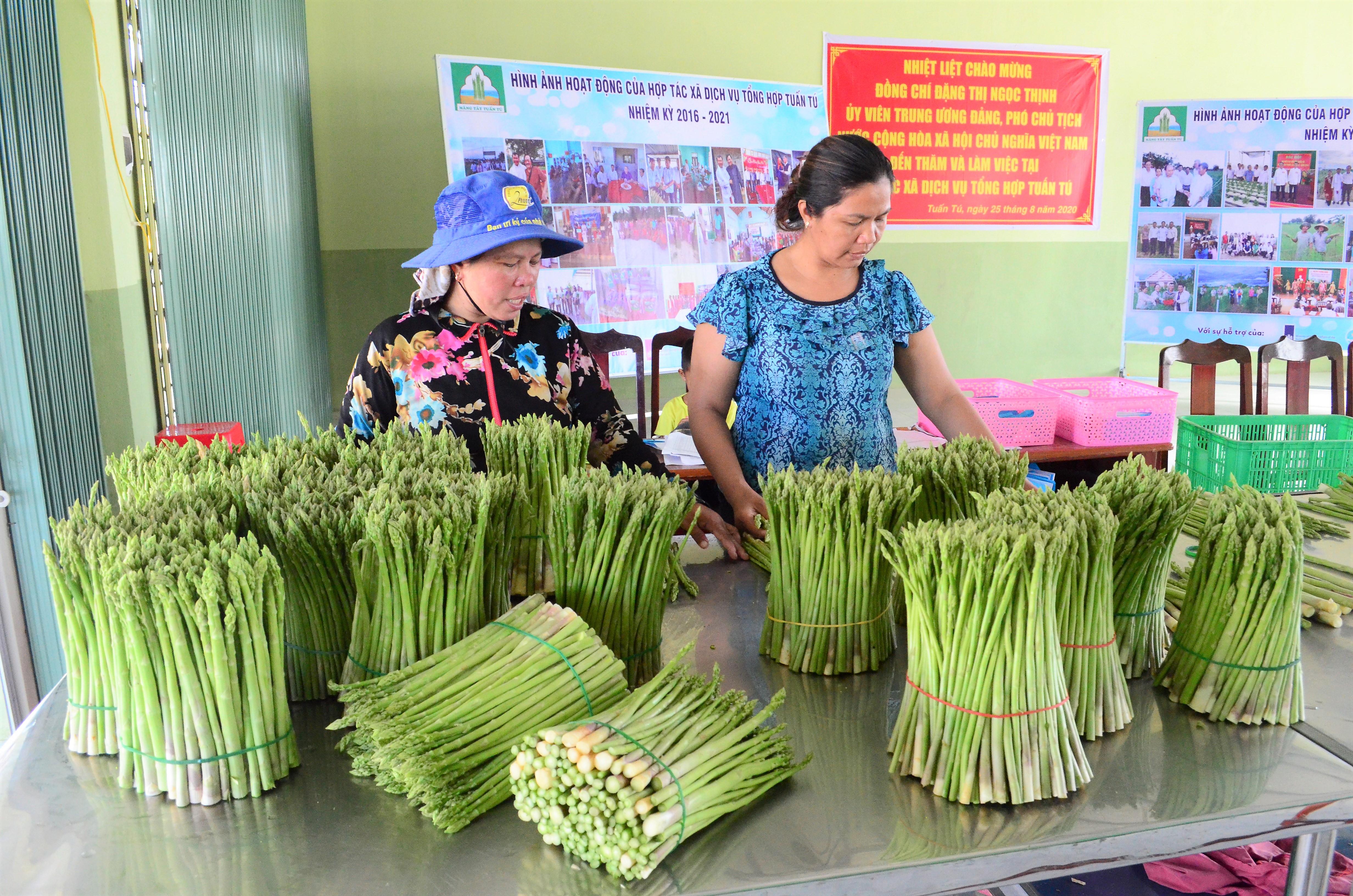Thu mua măng tây xanh tại HTX dịch vụ tổng hợp Tuấn Tú.
