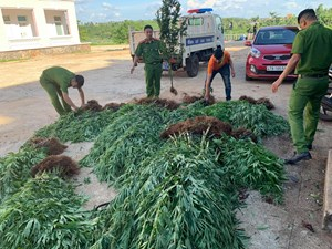 Trồng 500 cây cần sa rải rác trên 1ha đất rẫy cà phê