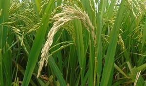 Hàng nghìn ha lúa nguy cơ bị đạo ôn cổ bông gây hại