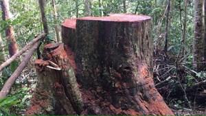 Kon Tum: Phát hiện vụ phá rừng ở Kon Plông