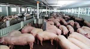 Bạc Liêu: Người chăn nuôi  thận trọng khi tái đàn lợn