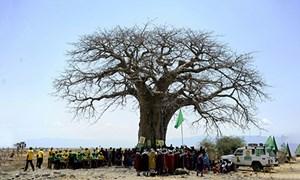 Cây bao báp nghìn năm chết hàng loạt ở châu Phi