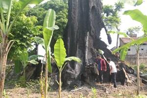 Cây di sản ở Thanh Hóa chết hàng loạt