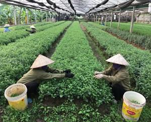 Hải Dương: Chuyển đổi cây trồng hiệu quả cao