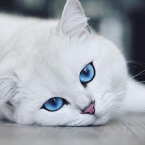 Chú mèo sở hữu đôi mắt 'hút hồn nhất thế giới'