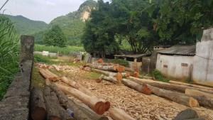 Vụ hàng chục cây gỗ lim bị đốn hạ ở Bá Thước (Thanh Hoá): Vi phạm tới đâu sẽ xử lý tới đó