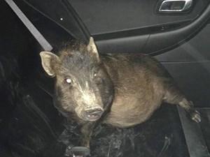 Người đàn ông hoảng sợ gọi cảnh sát vì bị 1 con lợn theo dõi