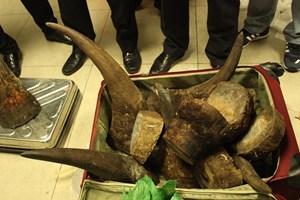 Thu giữ 12 sừng tê giác nhập lậu