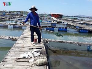 Thừa Thiên-Huế: Cá lồng nuôi chết hàng loạt