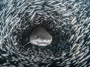 [ẢNH] Khoảnh khắc cá mập hổ bơi giữa 'quả cầu thức ăn khổng lồ'