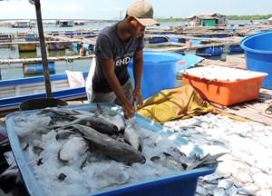 Cá nuôi trên sông Chà Và lại chết hàng loạt