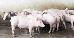 Tháo gỡ khó khăn trong phòng, chống bệnh dịch tả lợn châu Phi