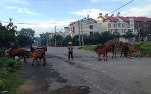 Chăn bò giữa phố