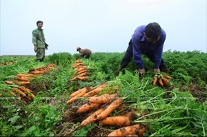 Kỹ thuật trồng cà rốt