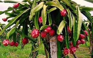 Kỹ thuật trồng cây thanh long