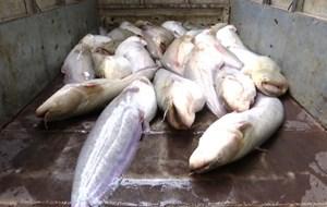 Lào Cai: Tiêu hủy hơn 400 kg cá nheo nhập lậu