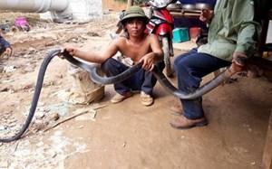 Nghệ An: Bắt được rắn hổ mang chúa nặng 5,2kg