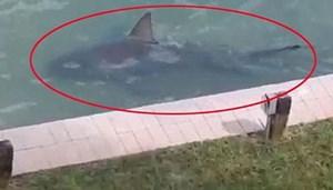 Phát hiện cá mập đang bơi trong bể bơi gia đình