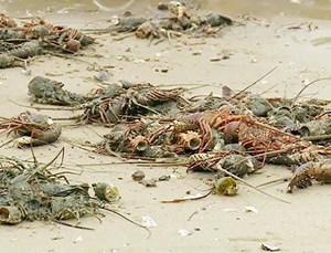 Phú Yên: Tôm hùm chết hàng loạt ở vịnh Xuân Đài