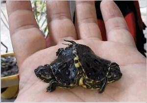Rùa hai đầu độc đáo ở Cuba