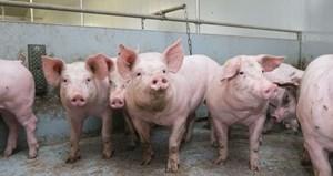 Tăng cường phòng ngừa dịch tả lợn châu Phi