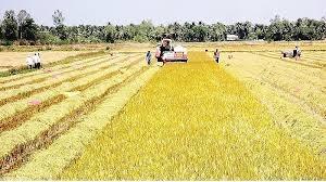 Tìm giải pháp thu mua tiêu thụ lúa gạo vụ Đông Xuân