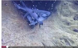 [VIDEO] Bầy cá mập rúc vào nhau ngủ dưới đáy đại dương
