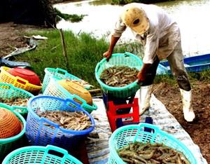 Bạc Liêu từng bước trở thành trung tâm công nghiệp tôm của cả nước