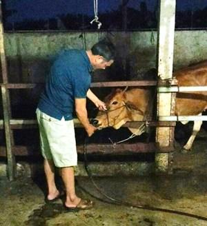 Bắt quả tang vụ bơm nước vào miệng bò trước khi giết mổ