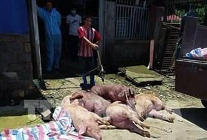 Lai Châu: Tái phát dịch bệnh tả lợn châu Phi